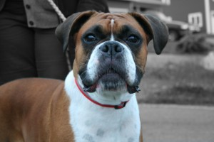 Boxer Colour Focus